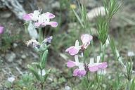 Collinsia bartsiifolia var. stricta