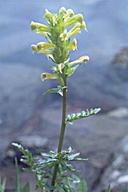Pedicularis bracteosa var. flavida