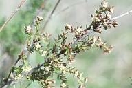 Galium nuttallii