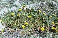 Ivesia lycopodioides var. scandularis