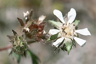 Horkelia cuneata ssp. cuneata