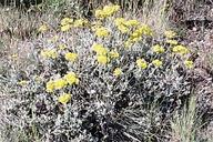 Eriogonum umbellatum var. argus