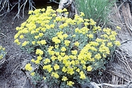 Eriogonum umbellatum var. chlorothamnus