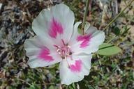Clarkia amoena ssp. amoena