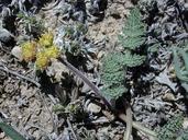 Lomatium foeniculaceum ssp. fimbriatum