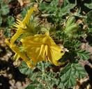 Solanum rostratum