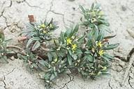 Neoholmgrenia andina
