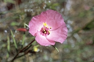 Clarkia gracilis ssp. gracilis
