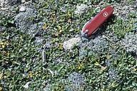 Salix reticulata ssp. nivalis