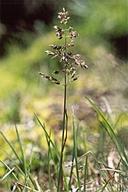 Poa pratensis ssp. pratensis