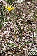 Pyrrocoma uniflora var. uniflora