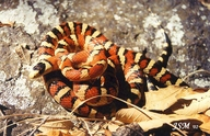 Huachuca Mountain Kingsnake