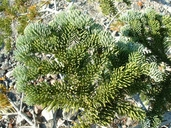 Abies magnifica var. shastensis
