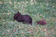 Melanistic Northern Gray Squirrel