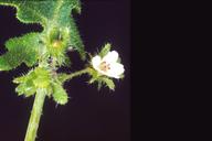 Pholistoma racemosum