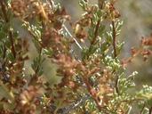 Adenostoma fasciculatum