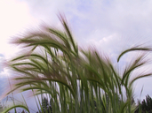 Fox-Tail Barley