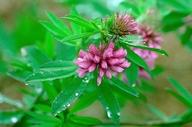 Trifolium lupinaster ssp. pacificum