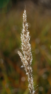 Muhlenbergia andina