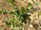 Quercus wislizeni var. wislizeni