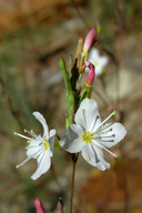 Gayophytum heterozygum