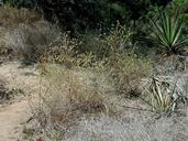 Cordylanthus rigidus ssp. setiger