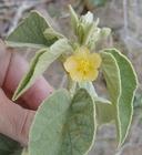 Horsfordia newberryi
