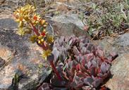 Sedum obtusatum ssp. boreale