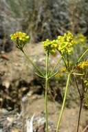 Eriogonum umbellatum var. subaridum