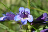 Penstemon heterodoxus var. cephalophorus
