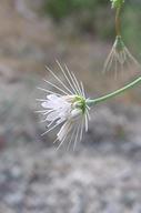 Acanthoscyphus parishii