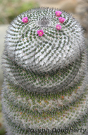 Snow Crowned Cactus