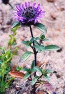 Monardella sinuata ssp. nigrescens