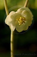 Podophyllum peltatum