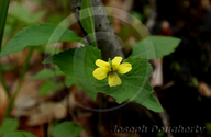 Roundleaf Yellow Violet