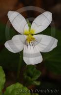 Viola canadensis