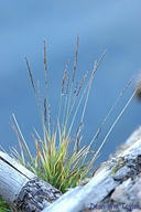 Agrostis humilis