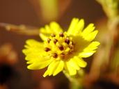 Deinandra paniculata