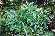 Angelica californica