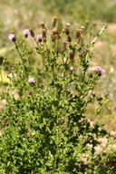 Cirsium arvense var. arvense