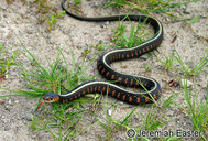 Red Spotted Gartersnake