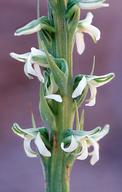 Piperia yadonii