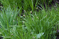Carex nervina