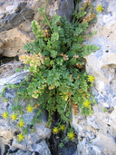 Jaeger's Ivesia
