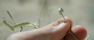Croton californicus