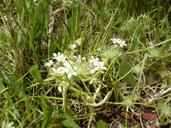 Navarretia myersii ssp. myersii