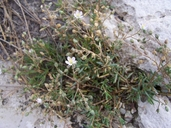 Salt Marsh Sand Spurrey