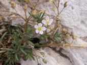Spergularia marina