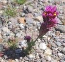 Castilleja exserta ssp. venusta