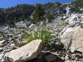 Carex congdonii